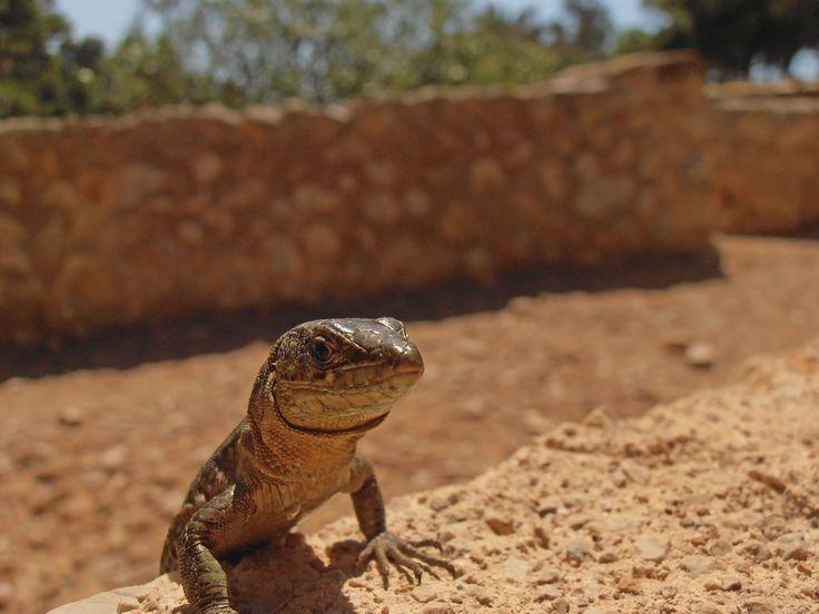 Sargantana, Dragonera, Španielsko