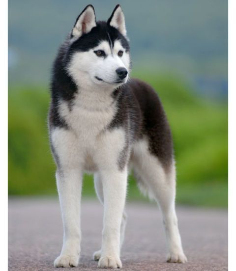 Unlike a typical sled dog, Siberian Huskies are intelligent, easy to please, softer, and more responsive. They're friendly by nature but really stubborn. This high-energy dog prefers to be outdoors. Watch an AKC Breed Video about Siberian Huskies at dog.com