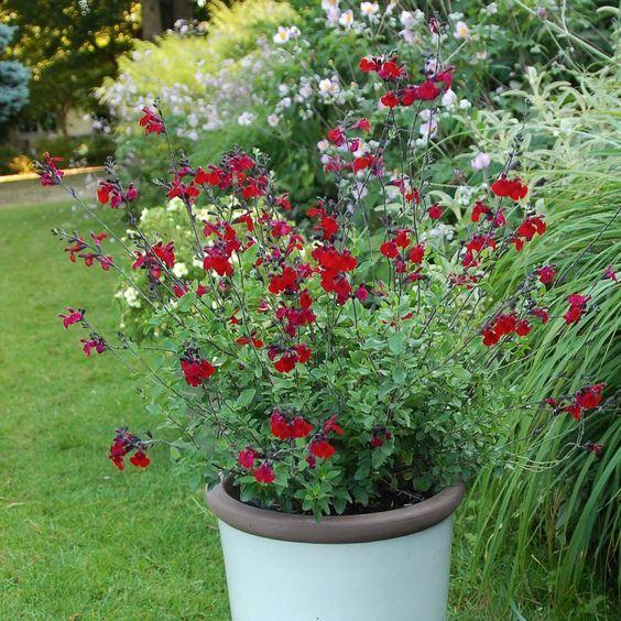 Salvia jamensis Reve Rouge - Sauge arbustive aux fleurs de belle taille, d'un rouge velouté intense.