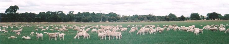 Dorper Sheep Sales