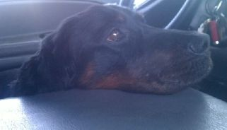 Adoption Pending!!!  Gordon about 7 year old male Gordon Setter