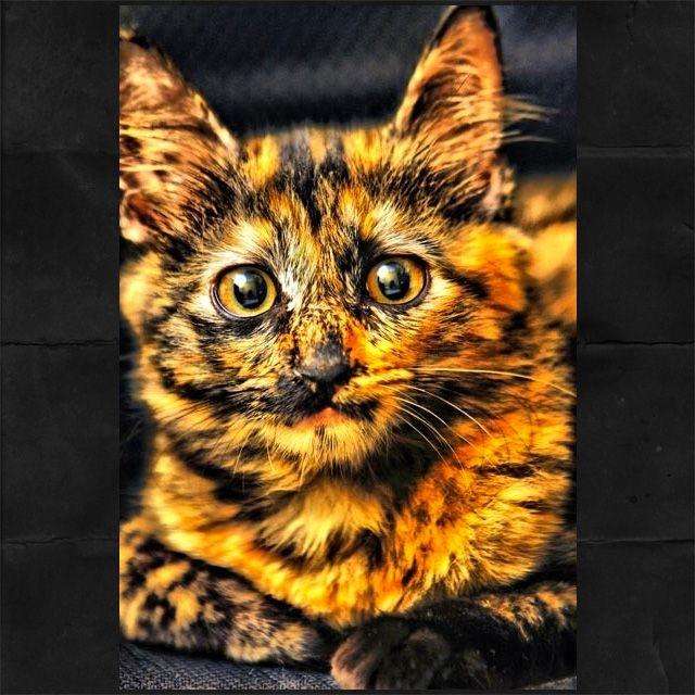 gatinha com pelagem Candy Corn ou escama de tartaruga. Assim como os gatos tricolores são só as fêmeas, esta pelagem também é exclusiva de fêmeas. Os machos que detêm três cores ou este tipo de pelagem da imagem são estéreis.