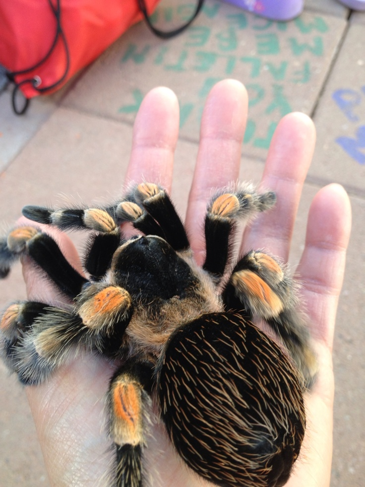 My Mexican Red Knee tarantula named Paddy. Had her since 1
