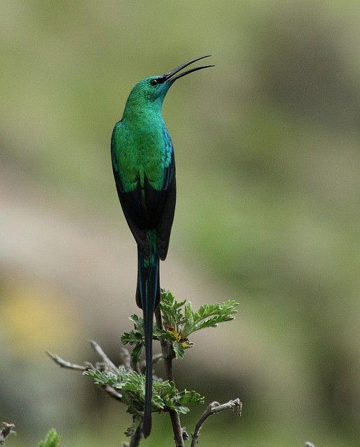 Birds Sunbird: 17 Best Images About Birds On Pinterest