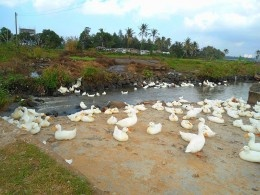 Free Range Ducks: Pekin Ducks, Free Range, Range Ducks