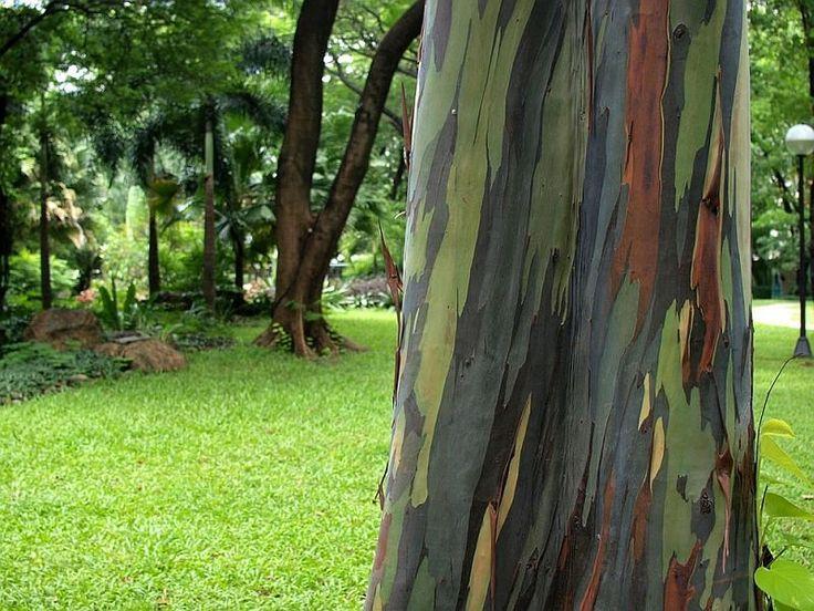 Радужный эвкалипт (Eucalyptus deglupta) - Путешествуем вместе