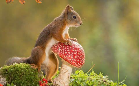 galóca gomba mókus ősz