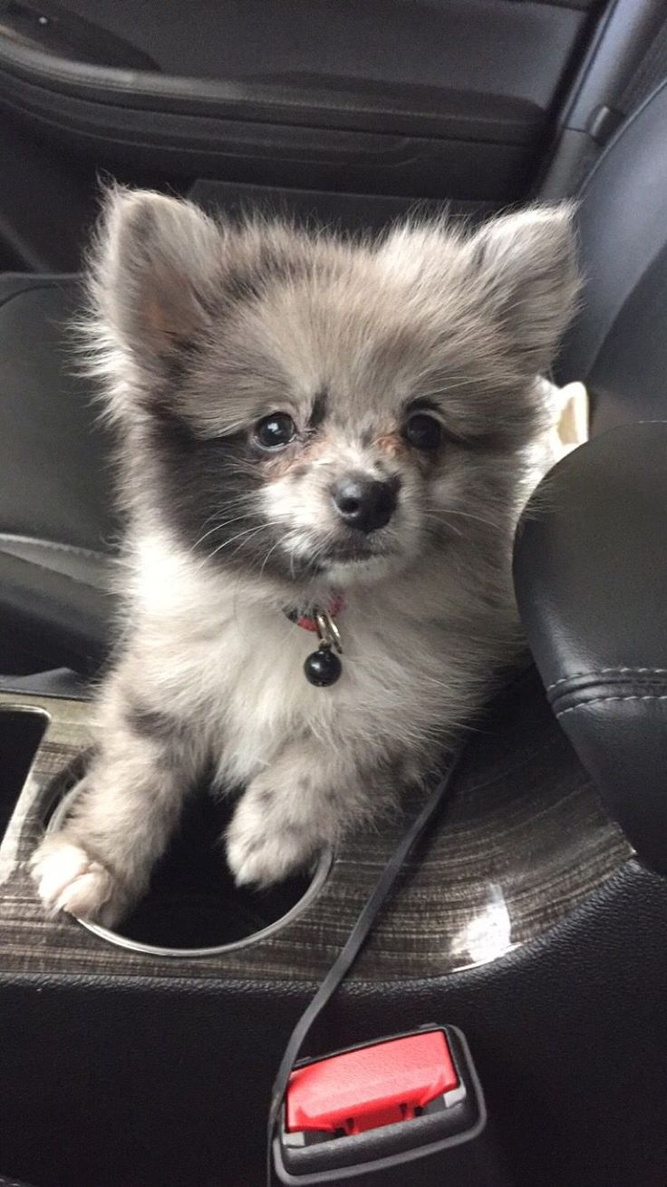 Blue Merle Pomeranian! Look at that face!
