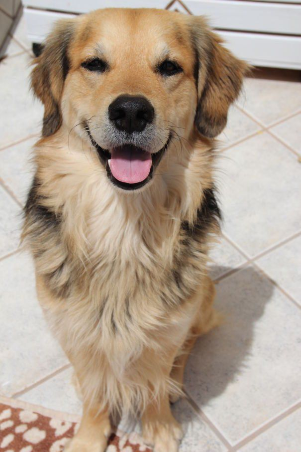 Dave the Golden Retriever/German Shepherd/Collie mix!