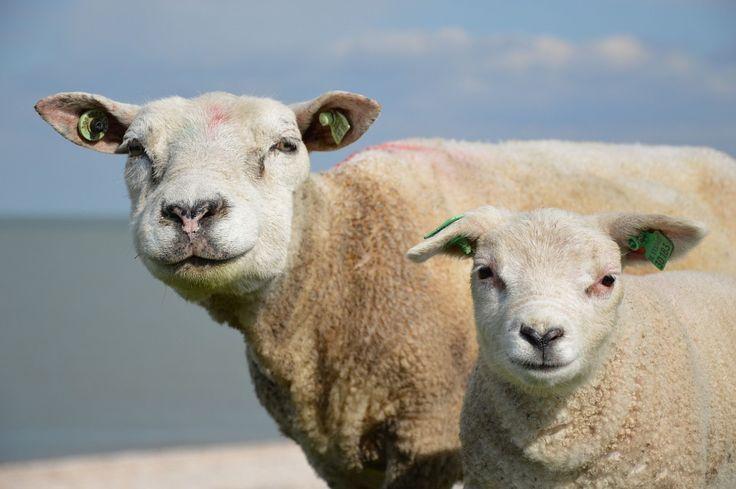 stadoowiec.pl #owce