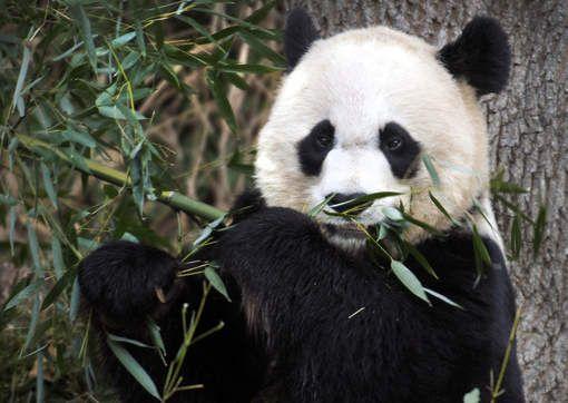 Échographie prometteuse pour la femelle panda de Washington - 7SUR7.be