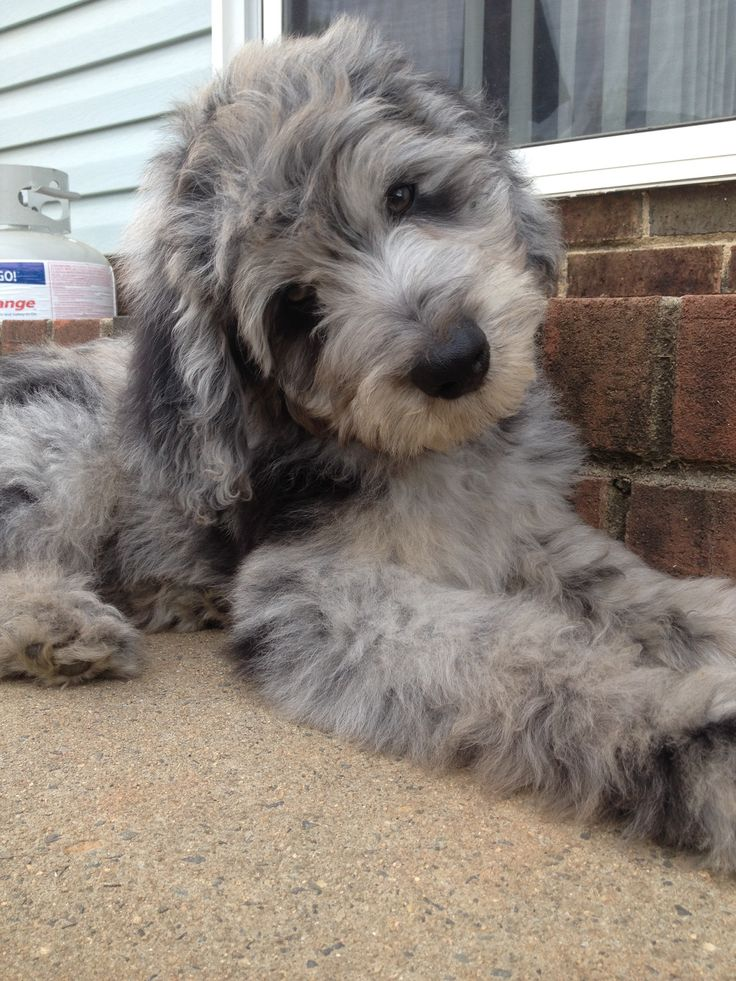 1000+ images about Aussiedoodles on Pinterest | Australian ...
