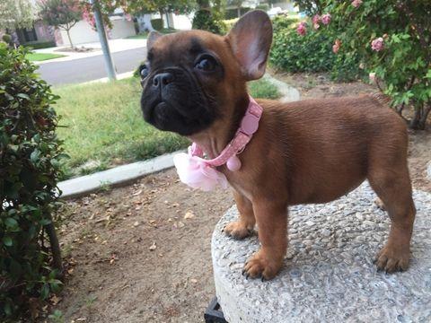French Bulldog puppy for sale in MANTECA, CA. ADN-43458 on PuppyFinder.com Gender: Female. Age: 9 Weeks Old