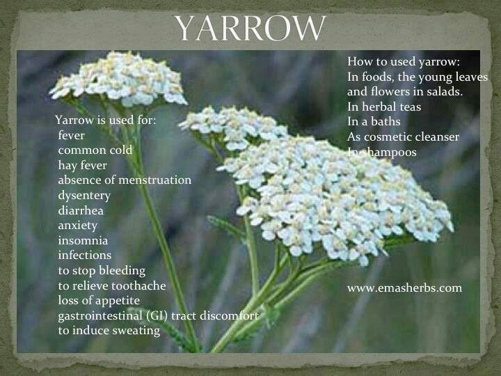 63 Best Yarrow Images On Pinterest Herbal Medicine
