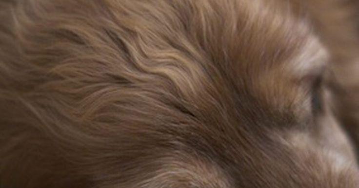 Sinais e sintomas da doença celíaca em cães. Os cães com doença celíaca não toleram glúten, uma proteína presente no trigo, cevada e centeio. Comer esses grãos provoca uma resposta imune anormal que ataca o intestino delgado. O Setter Irlandês é a única raça conhecida que tem a doença celíaca verdadeira, mas muitos cães são sensíveis a grãos que contenham glúten. A doença celíaca não tratada ...