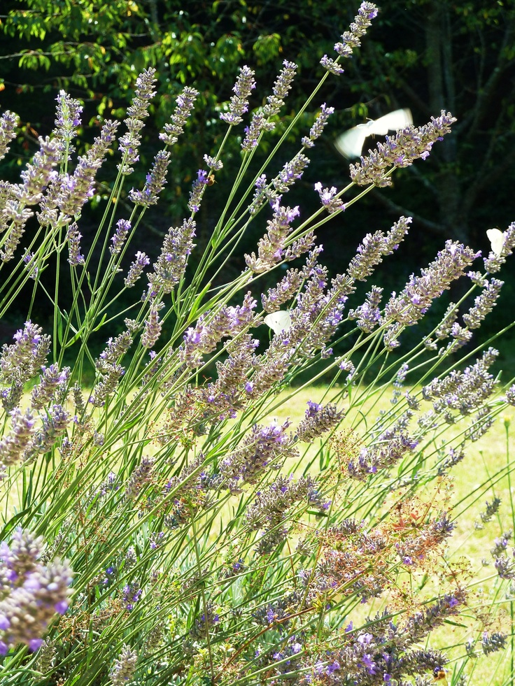 Lavender...what a pleasant smell!