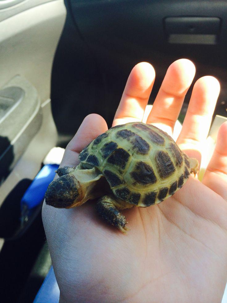 Henry the Horsefield tortoise