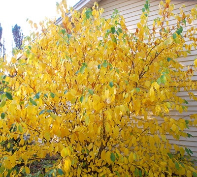 17 Best Images About Lindera On Pinterest Shrubs The