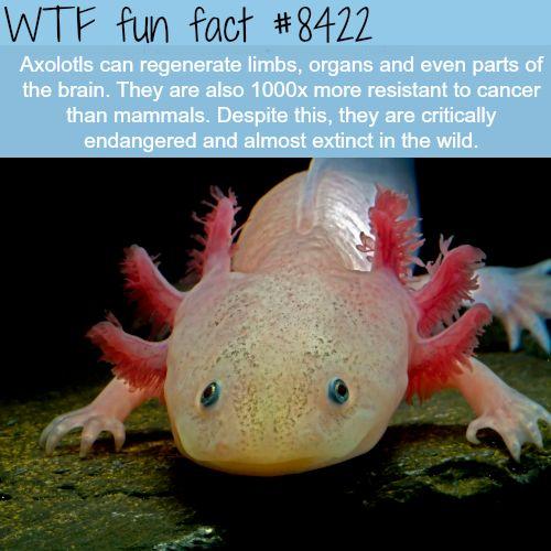 Axolotls - WTF fun facts
