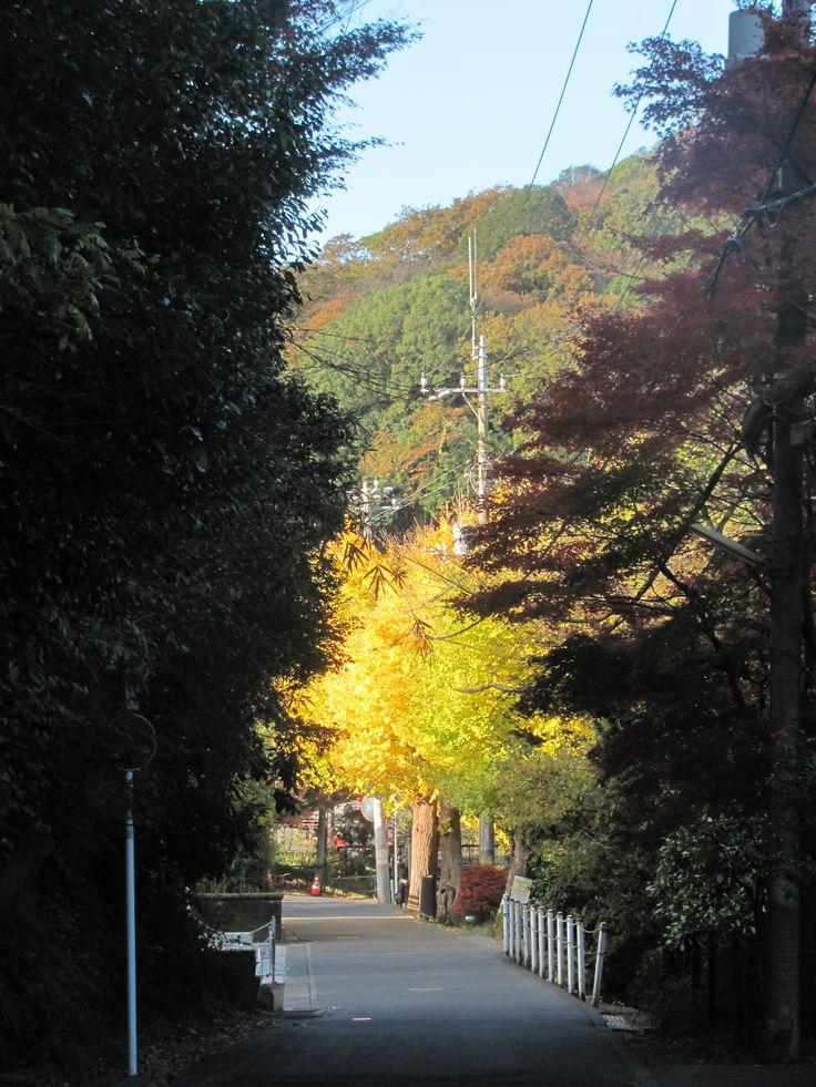 Near Kita-Kamakura stn. Fine yellow of gingko tree.