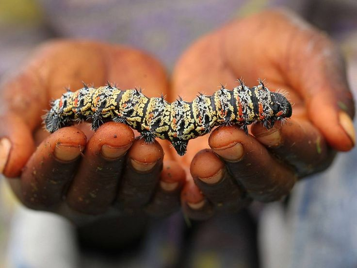Amalinda Ndlovu displays a mopane worm on Jan. 16 in Gwanda, Zimbabwe. The tasty mopane worms are a staple in the diet in rural areas and are considered a delicacy in the cities. They can be eaten dry, as crunchy as potato chips, or cooked and drenched in sauce.