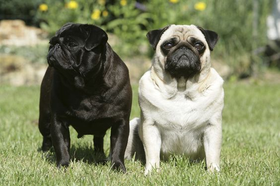 10 Awesome Facts About Pugs http://www.thepugdiary.com/10-awesome-facts-about-pugs/