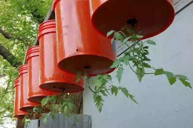 Chiêu độc trồng cà chua treo ngược cho vườn phố chật chội