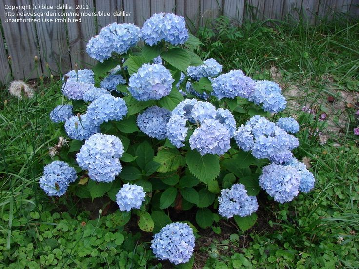 french hydrangea do well is shade available in pink white and blue - Plants That Do Well In Shade