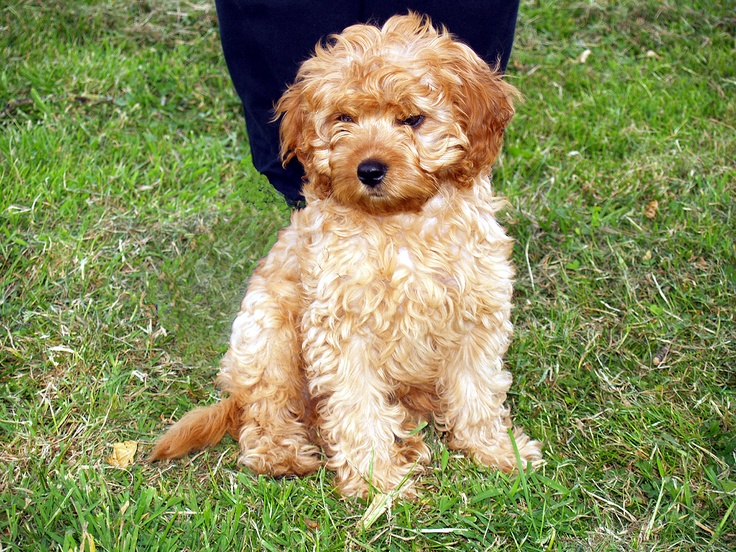 full grown Cavoodle Puppy love Pinterest