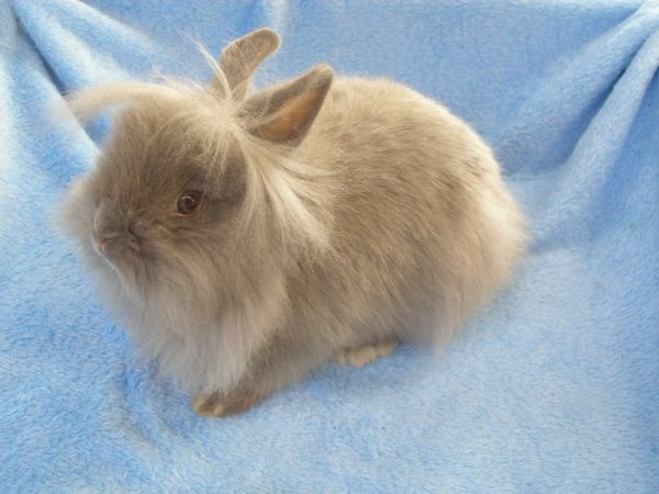 how to take care of a lionhead bunny