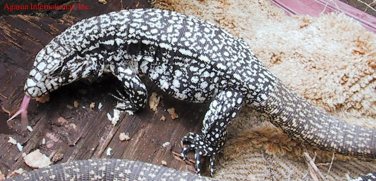Black and white argentine Tegu...WANT!!