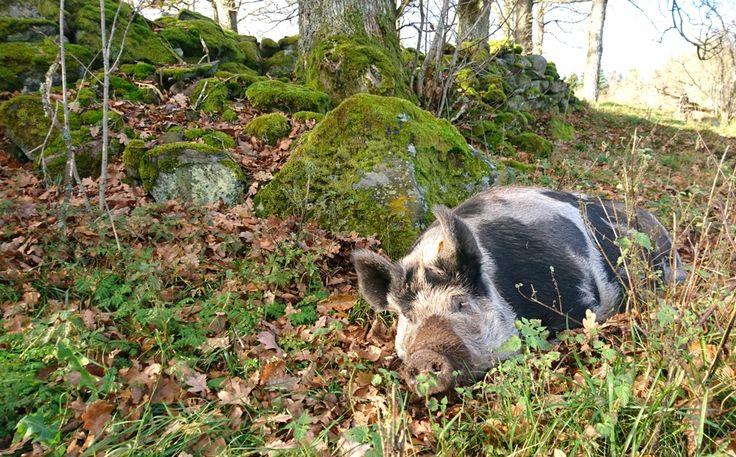 Happy pig at Villa Vilan // (Farm holidays, Bed and breakfast, Holiday homes, Sweden / Ferien auf dem Bauernhof, Zimmer mit Frühstück, Ferienhäuser, Schweden / Bo på lantgård, Rum och frukost, Stugor, Sverige, Småland)