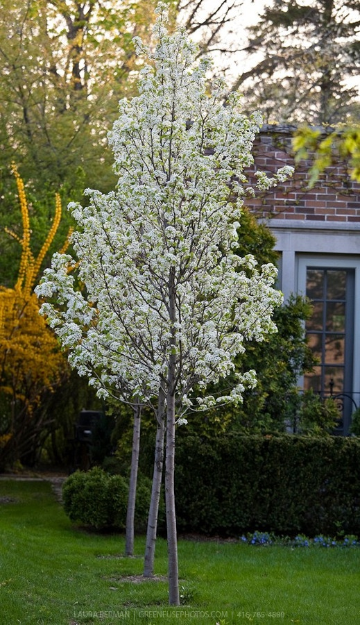 Chanticleer pear a popular urban tree tolerant of many for Popular small trees