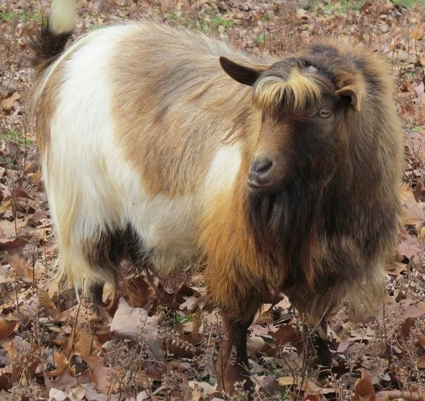 Salvador..Myotonic/Fainting goat buckSalvadormyotonicfaint Goats, Mchuggin Farms, Goats Bucks