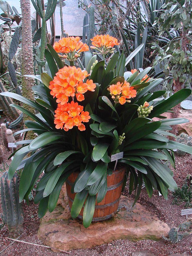 Plants flowers clivia miniata arreglos florales for Jardineria y plantas