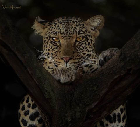 Varun M. Yennemadi‎ shared this incredible image of a leopard seen whilst out on a game drive nearNamiri Plains - Asilia Africa.