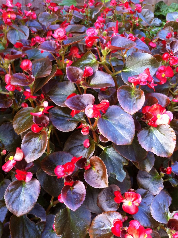 Winter Begonia. Lovely colors