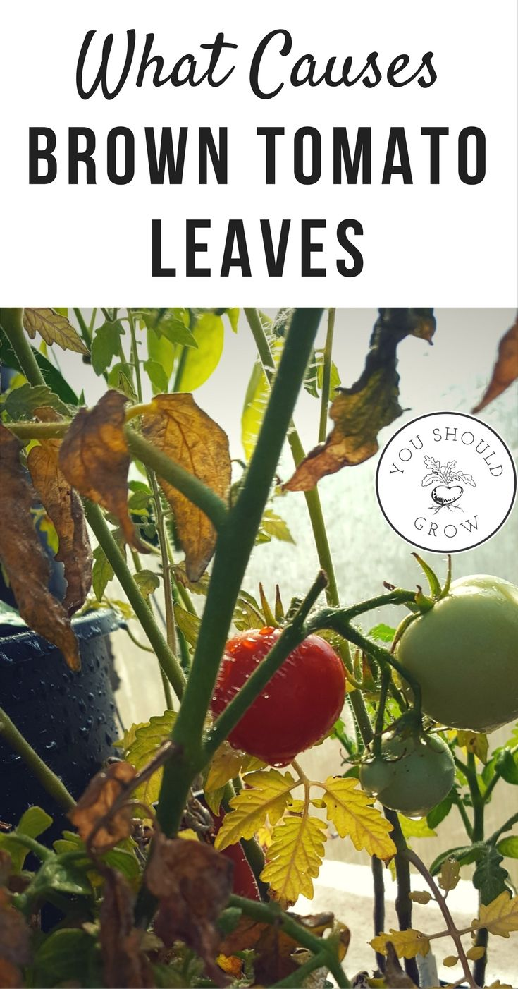 The leaves on tomato plants tell you a lot of information about what the plant needs. Troubleshoot tomato problems with this guide to help you grow better tomatoes.