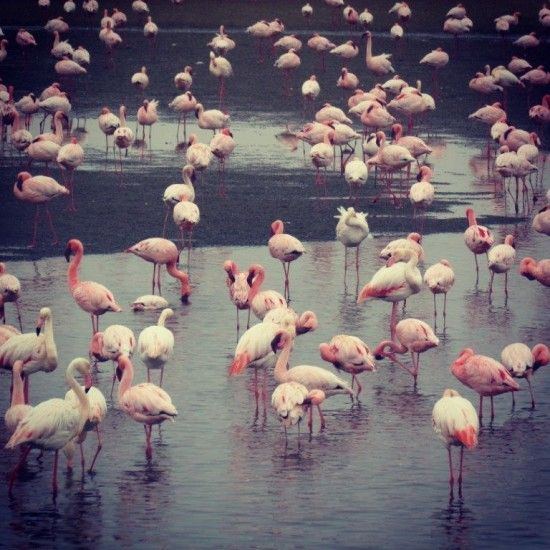 Namibia Travel Tips - Stop at Walvis Bay lagoon for the pink flamingoes before getting to Swakopmund #namibia #birdlife #flamingoes