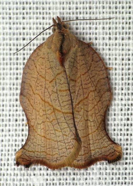 Archips purpurana