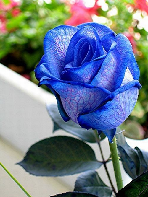 Blue roses. Very beautiful pictures (24 pics) - Picture #4 - Izismile.com