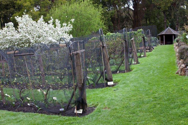 Espalier orchard at St Erth