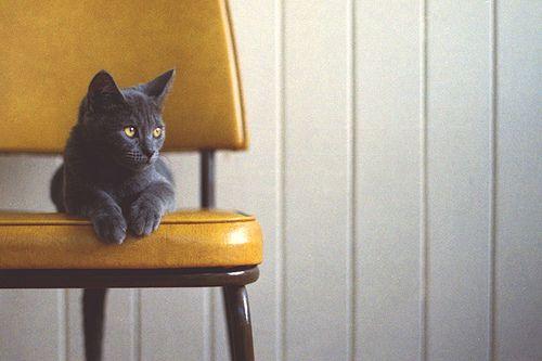 Not Floyd but still cute!Grey Cat, Kitty Cat, Golden Eye, Gray Cat, Future Cat, Baby Girls, Cat Eye Yellow, Yellow Chairs, Mustard Yellow