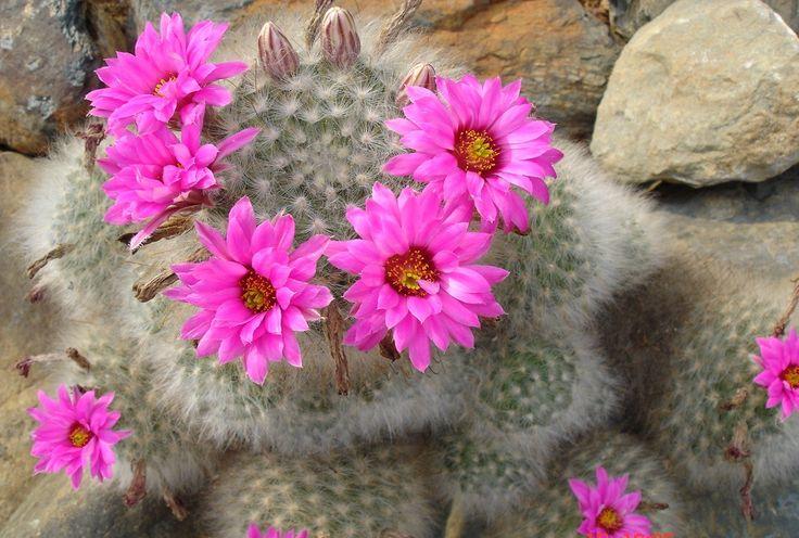Kaktusblüte im Ba Vi Nationalpark - #AsiaticaReisen