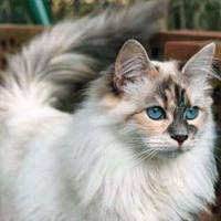 Beautiful Siberian Cat