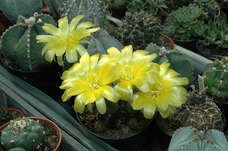 Echinocereus yellow