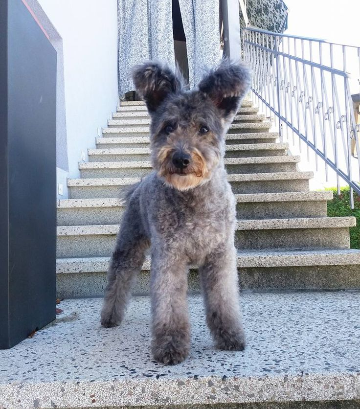 Pumi Dog Standing Upright #pumi #pumidog