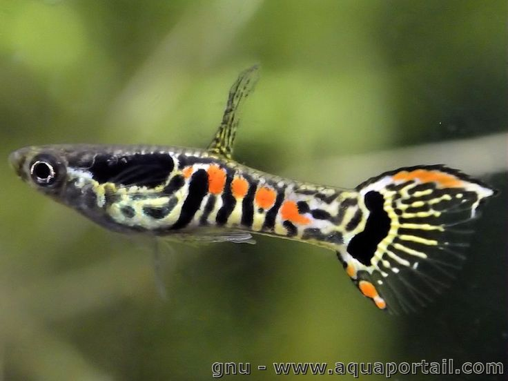 Poecilia wingei fish tigers and the o 39 jays for Endler guppy