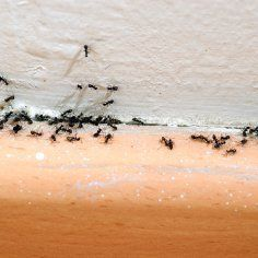 This page contains homemade ant killer recipes. Ants can cause problems whether they are inside your home or outside. Store bought ant killers and pest control services can be really expensive. You can save money by making your own ant killer.