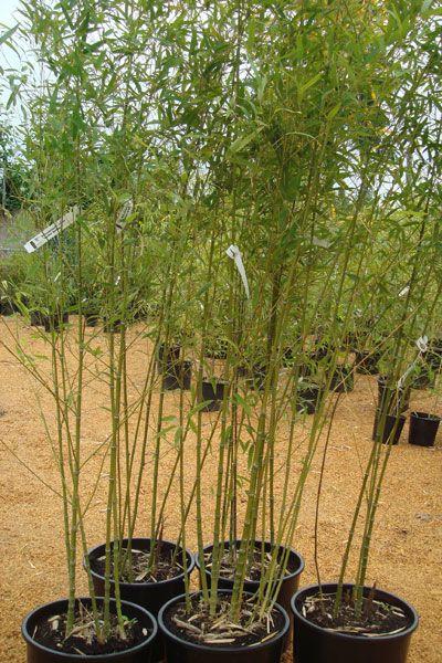 Bamboo Botanicals - Phyllostachys aurea (Golden Bamboo)